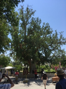 The sycamore fig tree in Jericho.